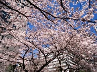 新大阪の桜