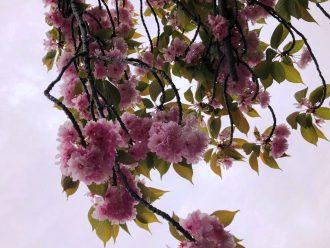 桜(バラバラになり写真なし)